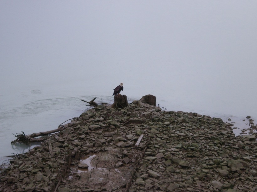 A bald eagle chilling in Juneau, Alaska