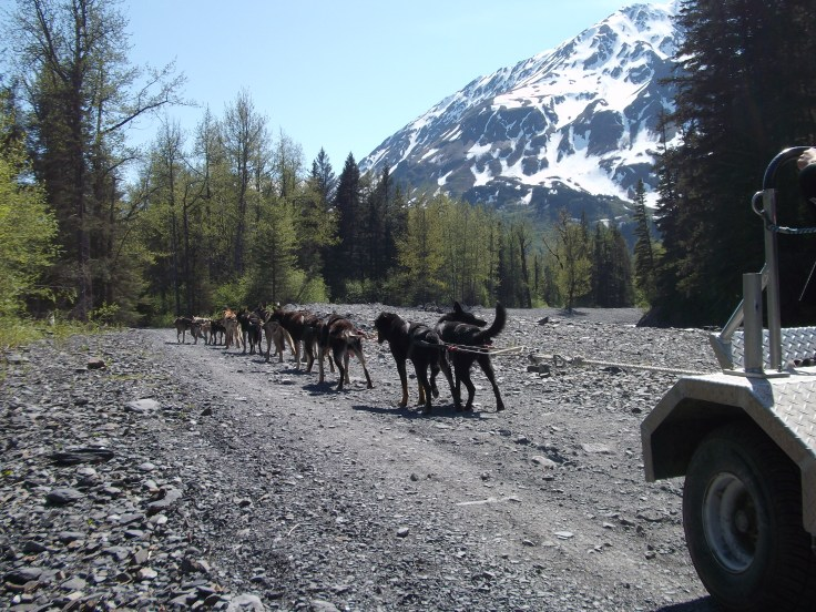 Dog sled team, Seward, Alaska