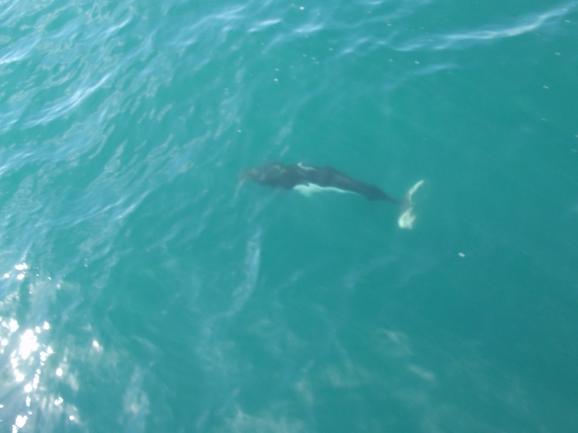 A porpoise swimming alongside the boat.