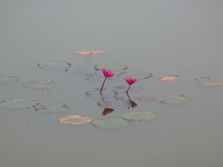 Lotus Flowers at Angkor Wat